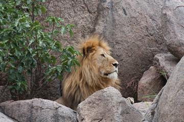 Leone maschio in Tanzania