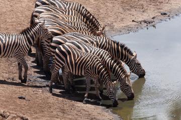 Zebre alla pozza d'acqua