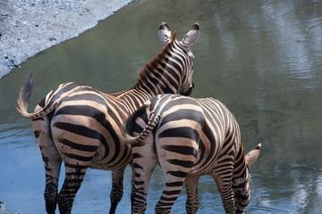 Coppia di zebre che bevono