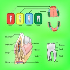 Types of teeth and external and internal structure of tooth