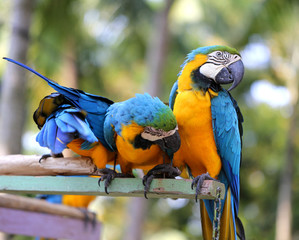bright blue macaws