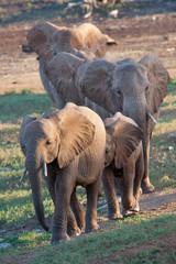 Famiglia di elefanti africani