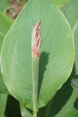 Budding Canna or Indian shot flower