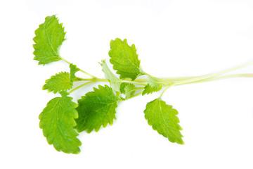 green leaf of melissa