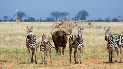 Zebre e bufali africani Kenya