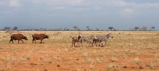 Zebre e Bufali nel parco TSAVO EST