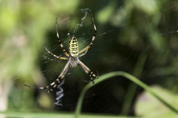 Garden spider (Argiope aurantia) in the net