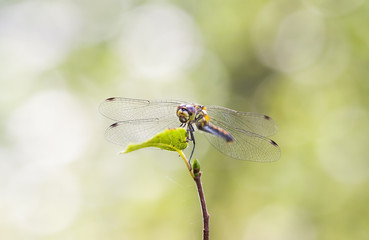 Dragonfly on a green leaf
