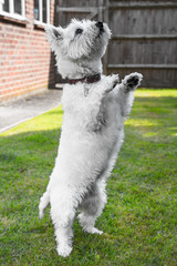 Cute West highland terrier standing on its back legs