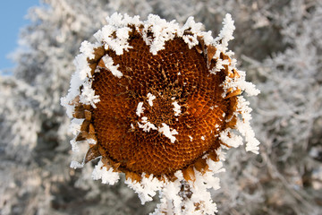 Dried Sunflower Head in Frost