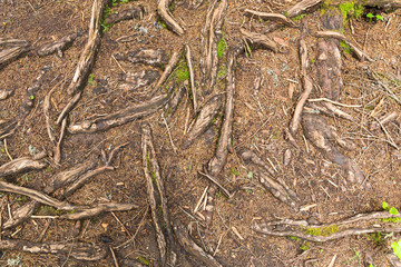 Texture of tree roots in the forest