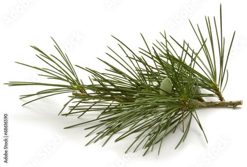 Papiers peints Arbre Pinus sylvestris Scots pine Waldkiefer Sosna zwyczajna