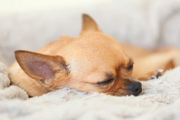 Sleeping red chihuahua dog on beige background.