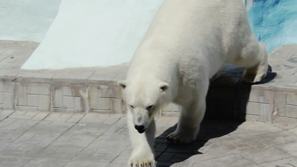 Polar bear walking in his aviary