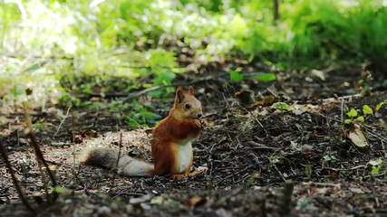 Red squirrel eating nuts in the woods