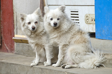 two beautiful hairy dogs on Kathmandu street, Nepal