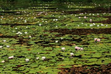 志賀高原 蓮池のヒツジグサ