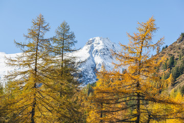Larch tree forest