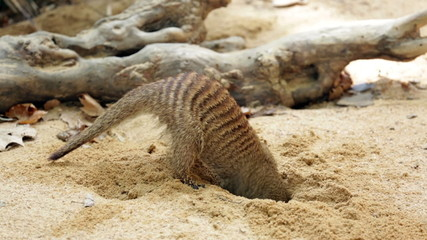 Banded mongoose (Mungos mungo) digging the ground