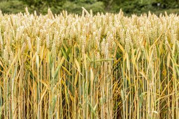 Getreide erntereif