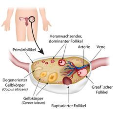 Anatomie Eierstock und Follikelzyklus