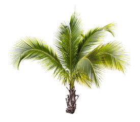 Young coconut tree isolated