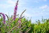 Landschaft mit violetten Blumen
