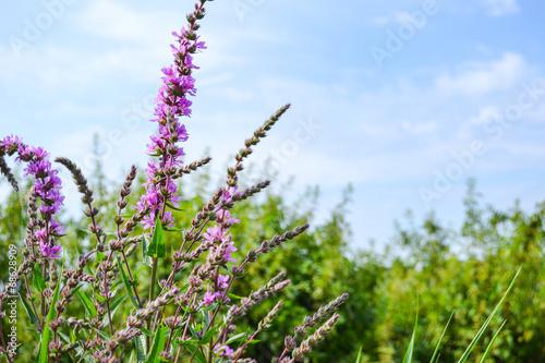 canvas print picture Landschaft mit violetten Blumen