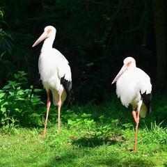 maguari stork