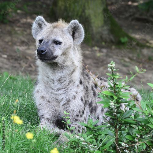 Foto op Canvas Hyena young spotted hyena