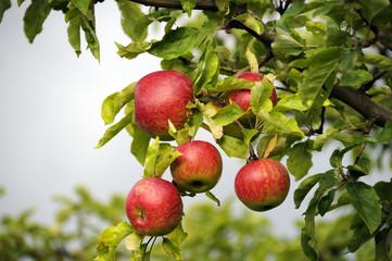 Frische Äpfel am Baum