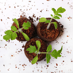 A tomato seedling in the peat pot