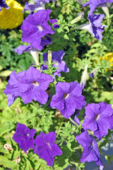 Beautiful flowerbed with many bright purple petunias