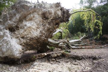 Fallen tree in woodland showing the rootball