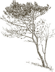 sketch of a pine tree