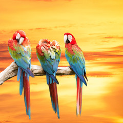Scarlet Macaw with beautiful sky.