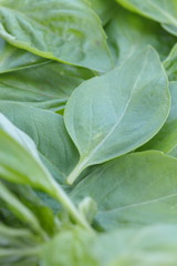 Green Basil leaves in close - up
