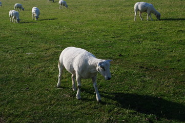 Husum mit Schafen am Deich 20