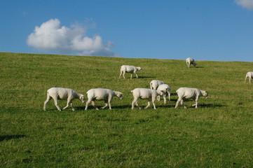 Husum mit Schafen am Deich 14