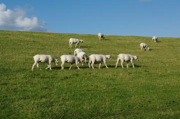 Husum mit Schafen am Deich 21