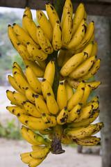 Cacho de banana-nanica