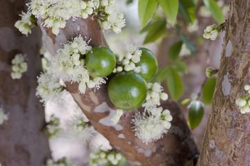 Jaboticapa em flor e fruto