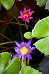 Purple lotus or waterlily has pink one beside