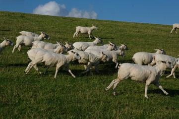 Husum mit Schafen am Deich 7