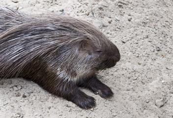 porcupine sout africa