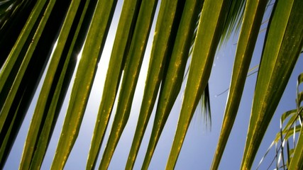 Sunlight through Leaves of Palm Trees. Slow Motion.