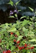 Nightshade plant with lila flowers and red berries