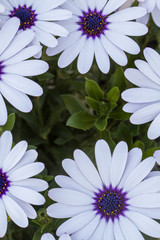 Close up view of the beautiful Osteospermum white flowers.