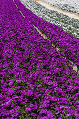 violet and white gerbera daisy flower nursery.