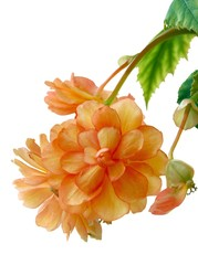 orange begonia blossoming